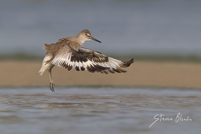 Willet in flight - Florida photography workshops