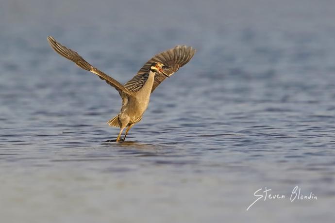 Yellow crowned Night Heron - Fort Desoto, Florida