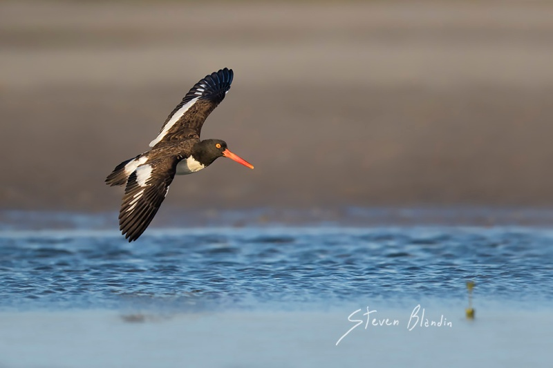 American Oystercatcher banking in flight - Florida photography tour