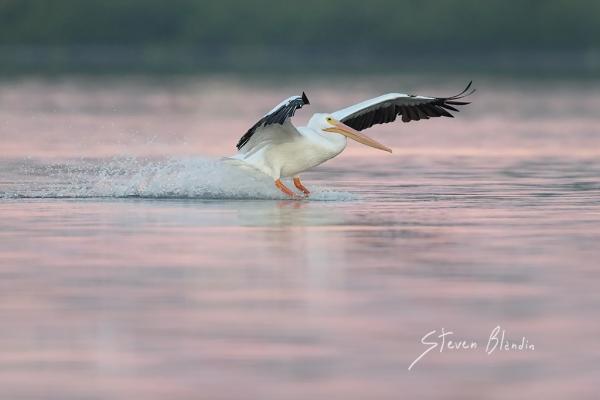 White Pelican landing - Sarasota Bay