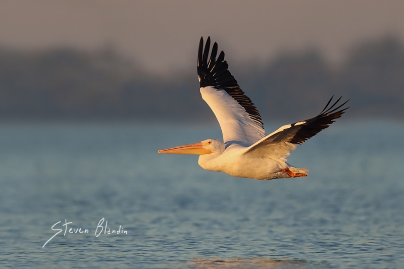 American White Pelican in flight - Sarasota Bay, Florida