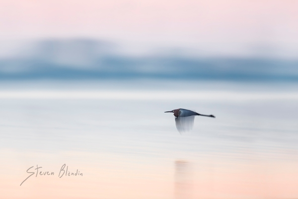 Reddish Egret in flight - Sarasota Bay, Florida bird photography workshop