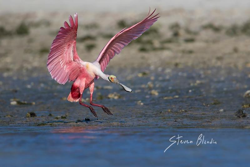 Roseate Spoonbill landing - Florida bird photography