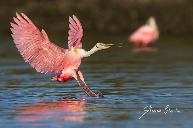Spoonbill landing - Canon EOS 7d mark II AF settings