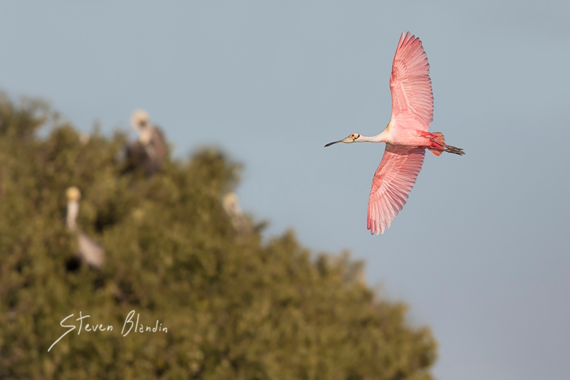 Roseate Spoonbill banking in flight - Florida photography