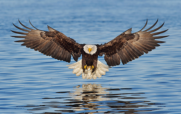 Alaska Bald Eagle - Photography tour