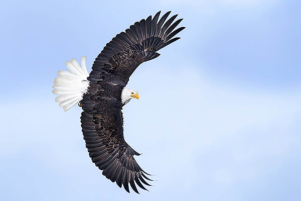 Alaska Bald Eagle - Photography workshop
