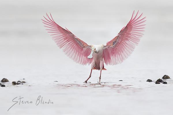 Roseate Spoonbill landing - Alafia Banks, Florida