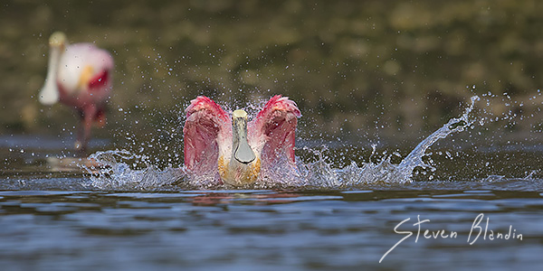 Roseate Spoonbill bathing - Alafia Banks, Florida