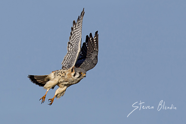 American Kestrel - Birds in flight photography tips - BIF