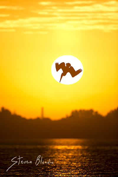 Brown Pelican diving at sunset