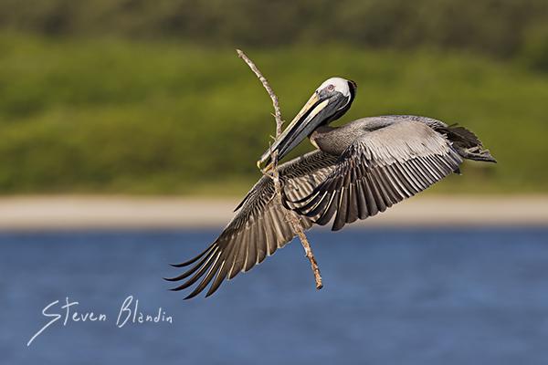 Brown Pelican in flight - Florida Photo Tour