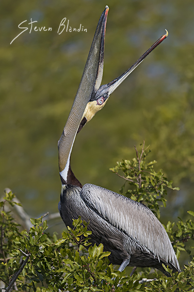 Brown Pelican head throw - Florida Photography