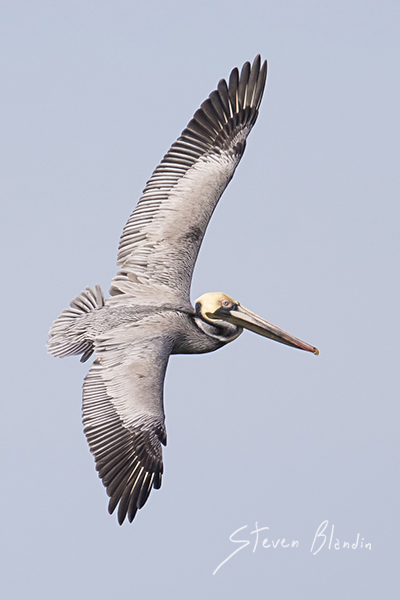 Brown Pelican banking in flight - birds in flight photography