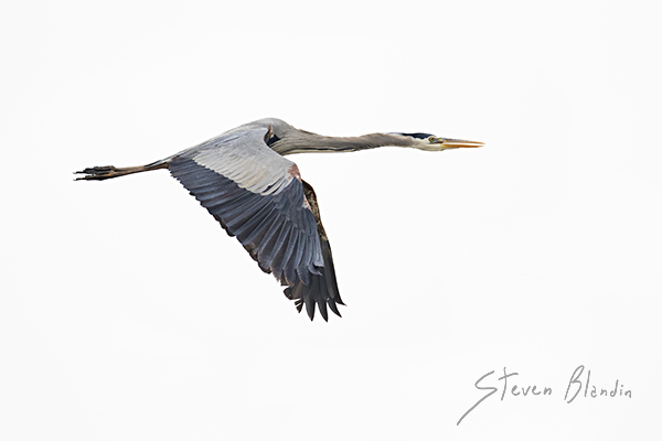 Great Blue Heron - Birds in flight photography tips - BIF