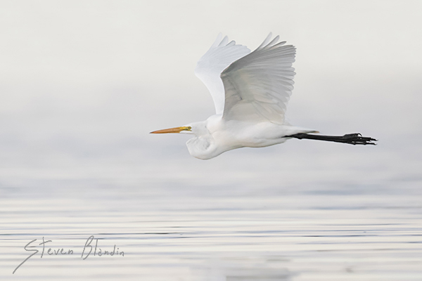 Great White Egret - Birds in flight photography tips