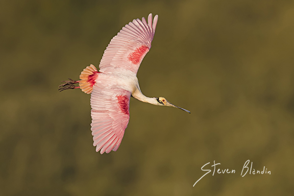 Spoonbill in flight - Canon 7d mark ii AF settings