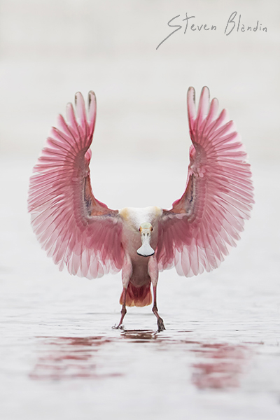 Spoonbill - Birds in flight tips