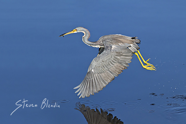 Tricolored Heron - Birds in flight photography tips