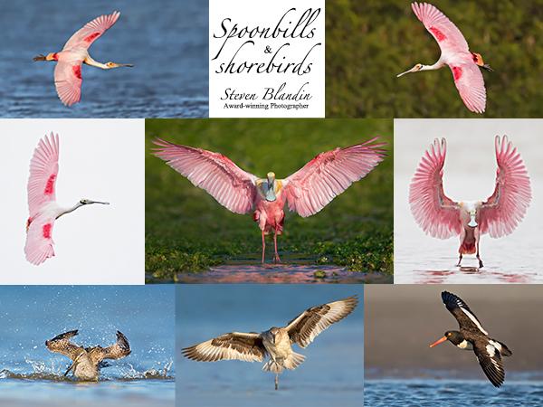 Florida Spoonbill Photography Tour
