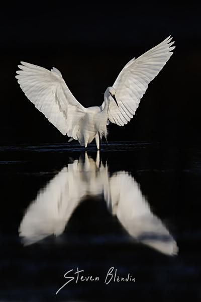 Snowy Egret - Sarasota Bay
