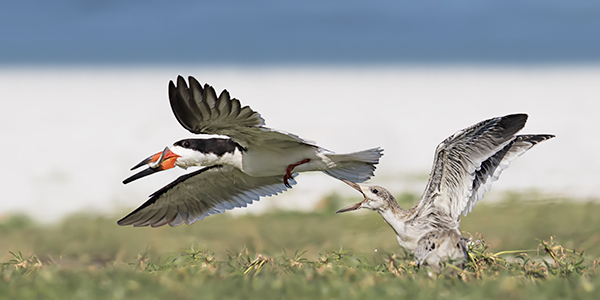 Black Skimmer chick chasing adult for food - Indian Shores, Florida