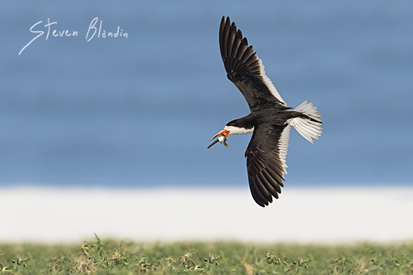 Black Skimmer banking in flight - Indian Shores, Florida