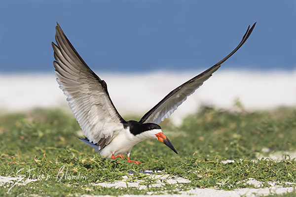 Black Skimmer landing - Indian Shores, Florida