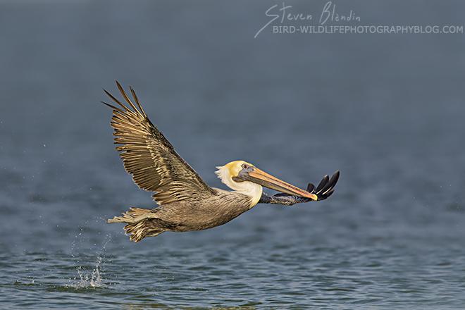 Brown Pelican taking off - Fort Desoto, Florida