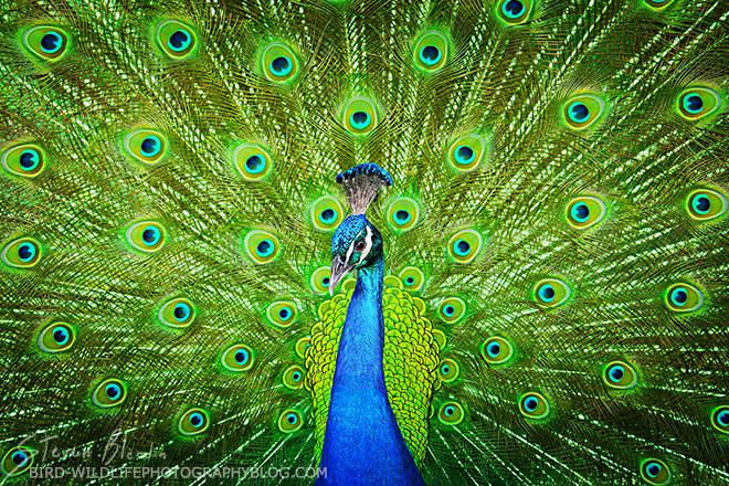 Peacock - Bird photography tour