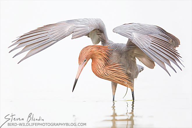 Reddish Egret - 2015 BBC Wildlife Photographer of the Year