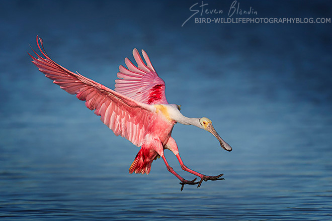 Roseate Spoonbill - Florida photography tour