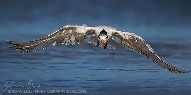 Royal Tern - Florida photography tour