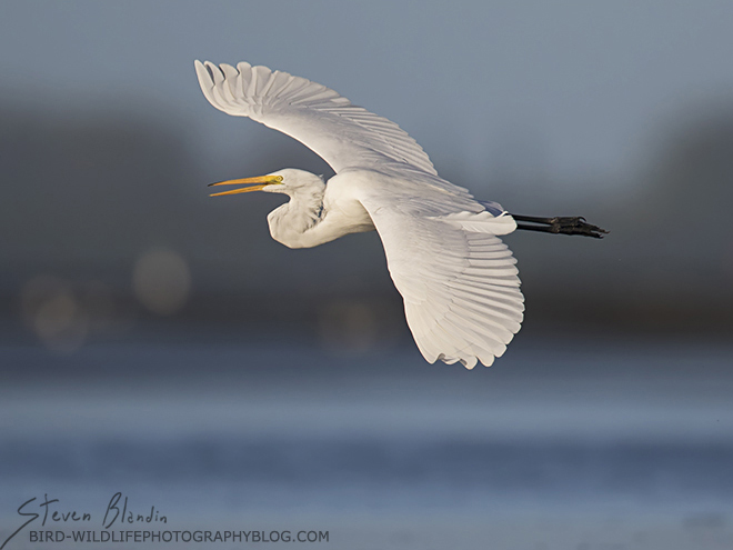 Great White Egret banking in flight - Sarasota Bay