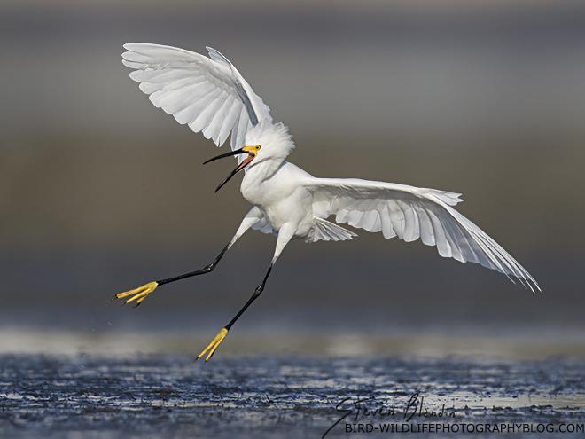 Snowy Egret landing - Sarasota Bay