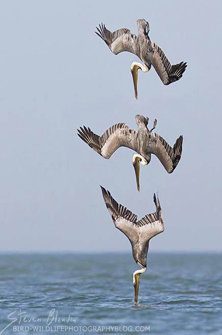 Brown Pelican diving serie