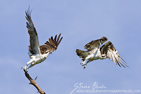 Osprey taking off - Bird Photography