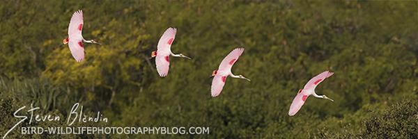 Spoonbill banking serie - Bird Photography