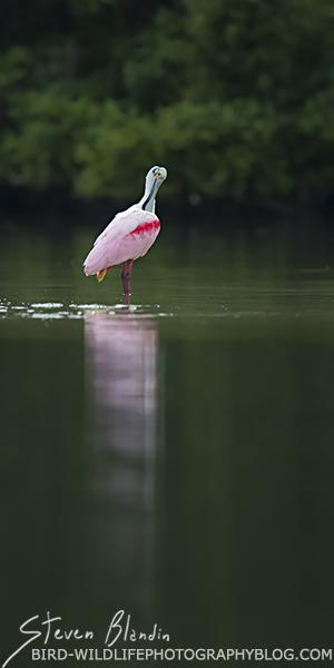 Roseate Spoonbill preening - Florida photography