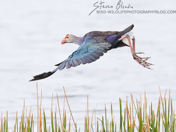 Purple Gallinule in flight - Canon EOS 1DX mark II AF settings & review
