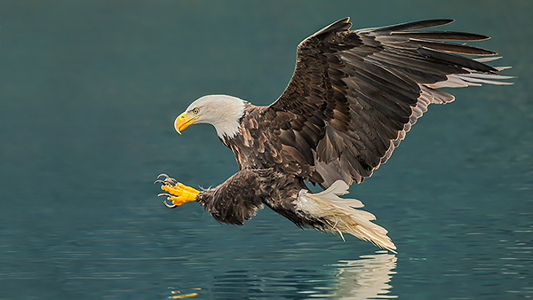 Alaska Bald Eagle fishing - Photography Tour