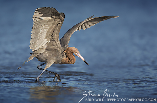 On The Hunt - Reddish Egret