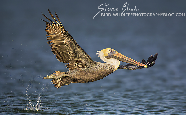 Brown Pelican taking off