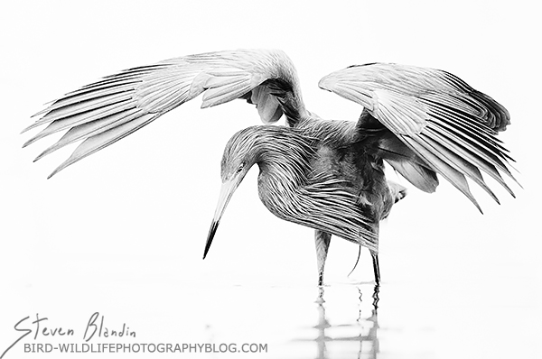 Vampire Wings - Reddish Egret
