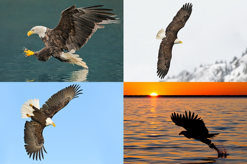 Alaska Bald Eagle Photography Tour