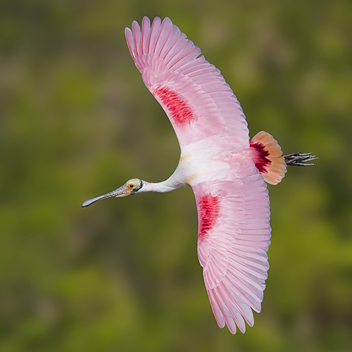 Florida Spoonbill Tour