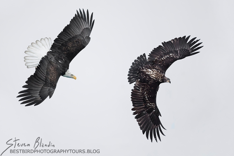 Adult Bald Eagle chasing juvenile - Alaska Photography Tour