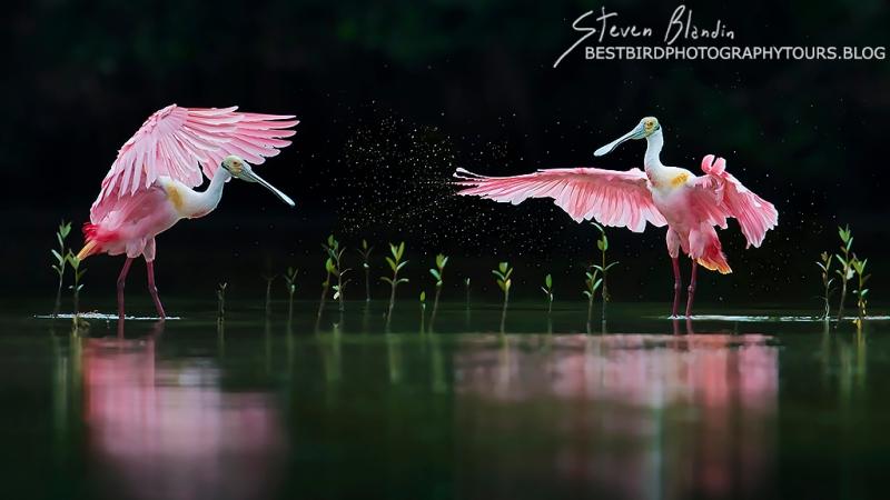 Pink Symphony - Spoonbills Orchestra