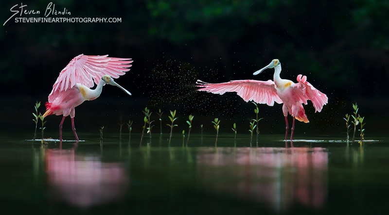Fine Art Bird Photography_Florida Spoonbills